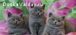 Продам британских котяток