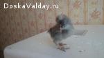 Цыплята поместных кур